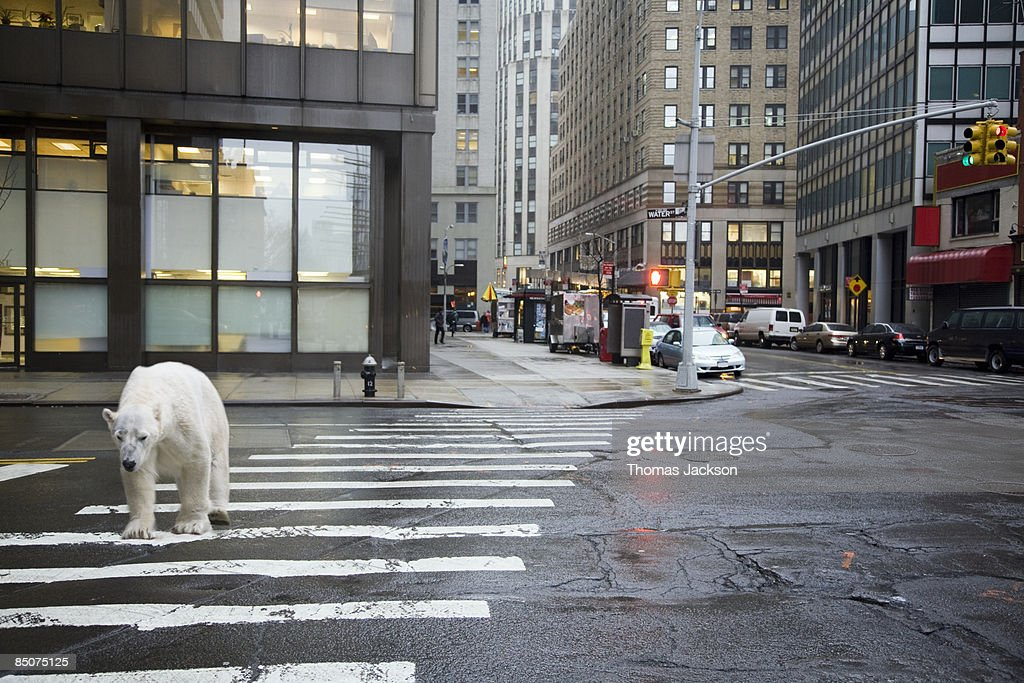 Polar bear crossing city street : Stock Photo