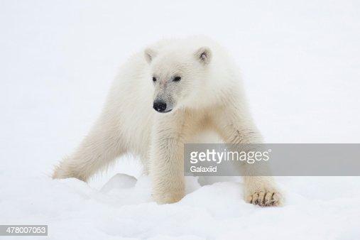 Polar Bear Cub on Snow