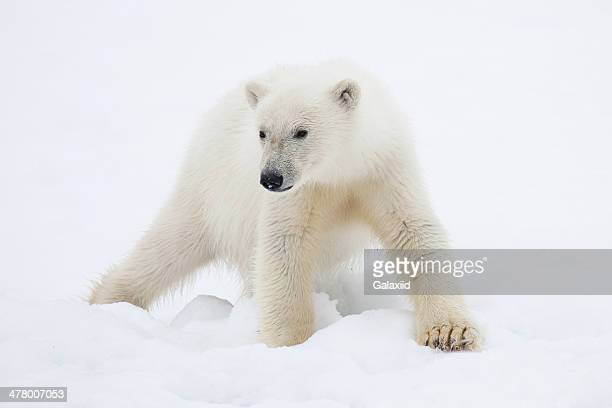 Polar Bear Cub on Snow