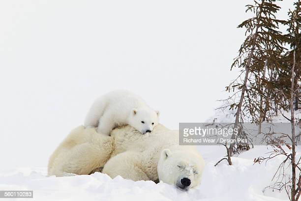 Polar bear (ursus maritimus) cub rests on her mothers back at wapusk national park