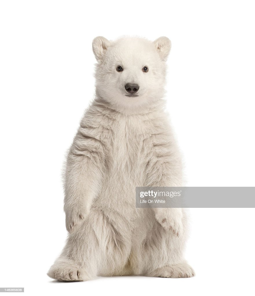 Polar bear cub sitting : Stock Photo