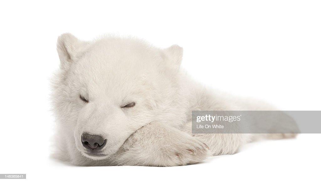 Polar bear cub sleeping
