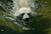 A polar bear cub swims in his enclosure at Moscows Zoo on May 27 2015 The temperatures in Moscow reached today 28 C AFP PHOTO / KIRILL KUDRYAVTSEV