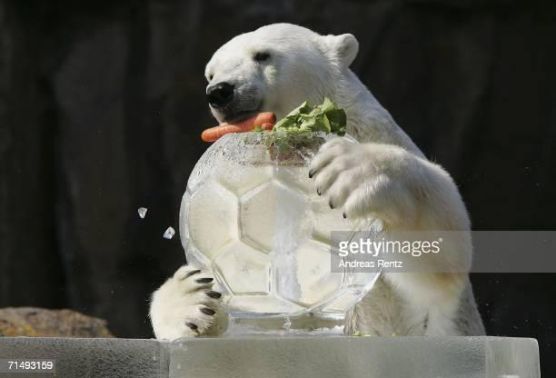 A polar bear enjoys a ice bomb containing frozen fruit and fish on July 21 2006 at the zoo in Berlin Germany Temperatures in Germany reached up to 36...