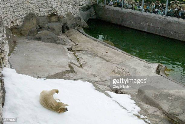 A polar bear enjoys artificial snow while in the polar bear enclosure within the Moscow Zoo August 7 2003 in Moscow Russia The zoo prompted by Moscow...
