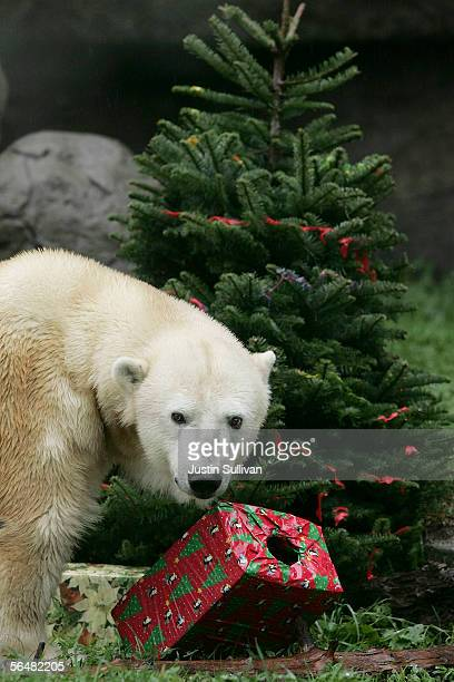 A polar bear examines a wrapped box filled with treats at the San Francisco Zoo December 22 2005 in San Francisco California Zoo animals received...