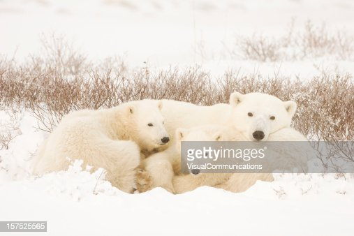 Polar bear family in a landscape covered in snow