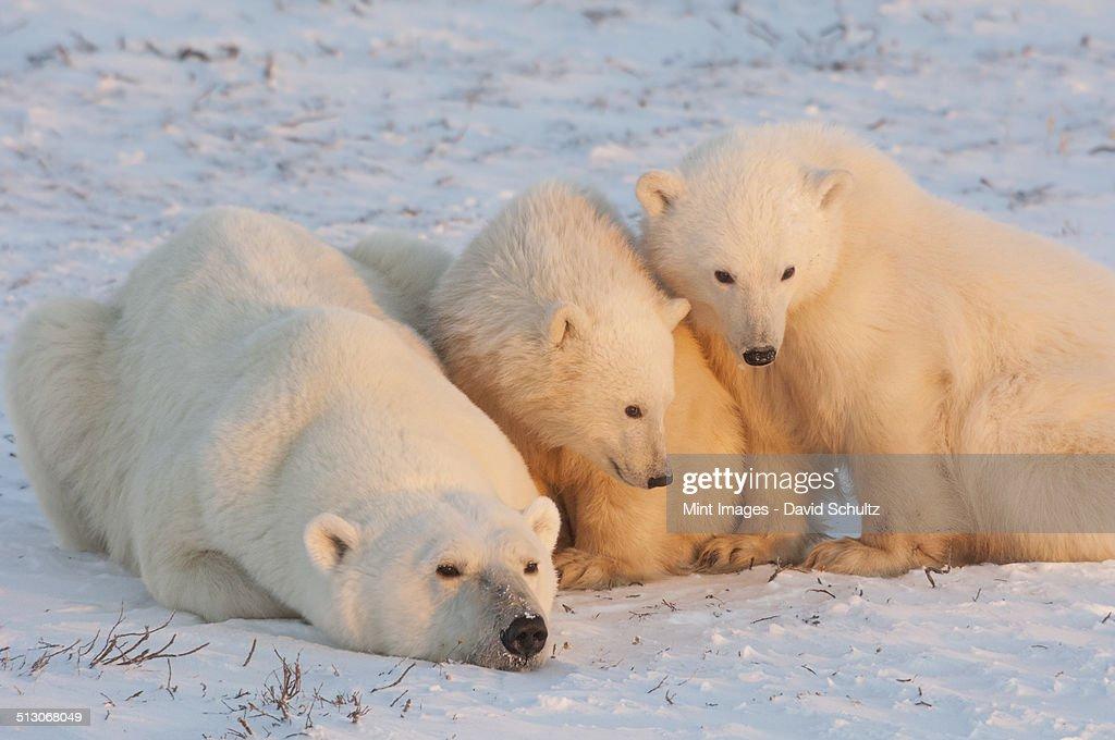 from Maximilian gay polar bear free xxx video