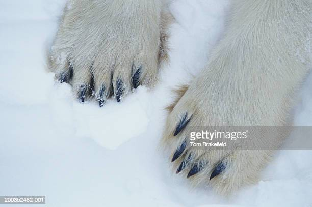 Polar bear (Ursus maritimus) feet, close-up, Canada