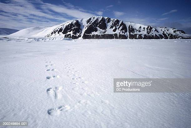 Polar bear footprints in snow, elevated view