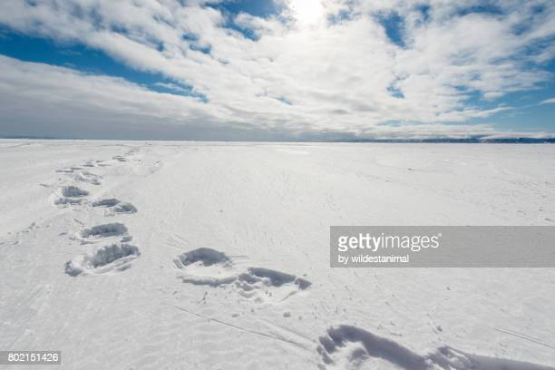 Polar bear footprints in the snow over the frozen waters of Admiralty Inlet, northern Baffin Island, Canada. Image was taken in the early evening with the sun low in the sky in late May.