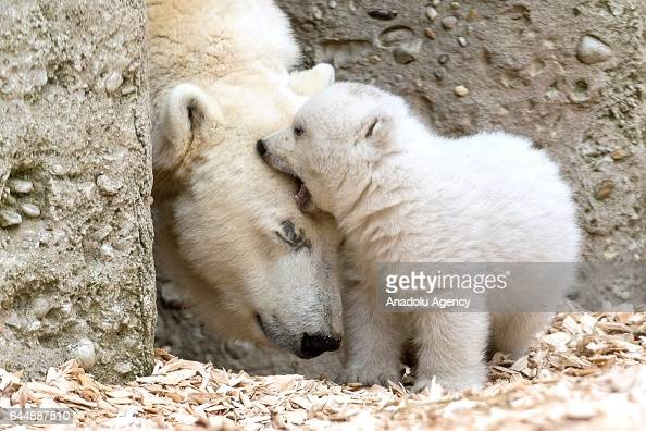 Polar bear Giovanna and her yet nameless cub walk through their enclosure at Hellabrunn Zoo in Munich Germany on February 24 2017