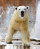 Polar bear Gogo is seen at Tennoji Zoo on February 18 2015 in Osaka Japan Gogo will be transferred to the Adventure World in Wakayama aiming to breed