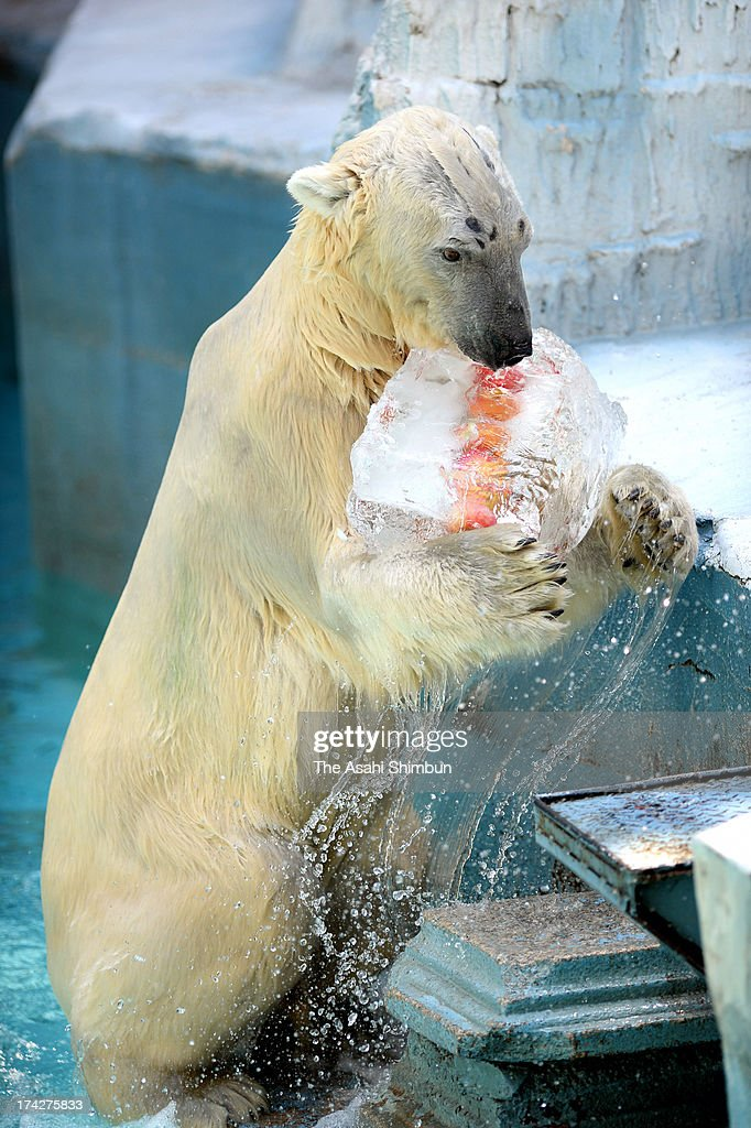 Polar bear Gogo licks an ice cube contains apples at Tennoji Zoo on July 23, 2013 in Osaka, Japan. Osaka records 34 degrees Celsius today.