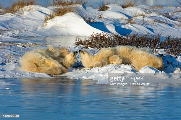 A polar bear group, an adult and two cubs lying on the snow beside water.