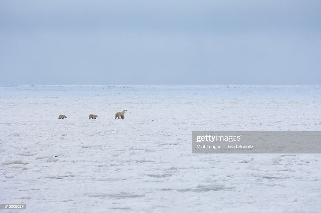 A polar bear group, an adult and two cubs on a snowfield in Manitoba.