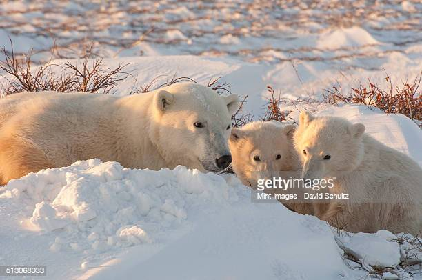 A polar bear group in the wild, an adult and two cubs on a snowfield in Manitoba.