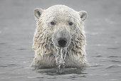 Polar Bear Head Emerging from Arctic Ocean