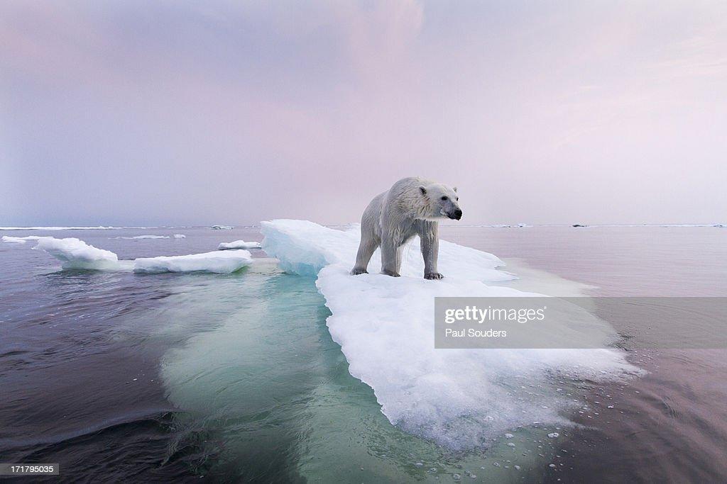 international day of the polar bear receding sea ice threatens the