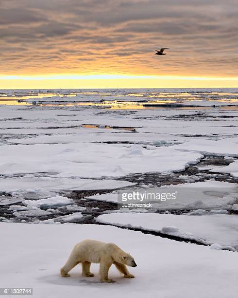 Polar Bear Ice Pack Sunrise