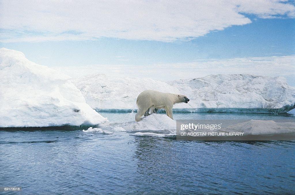 Polar bear in arctic landscape