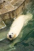 Polar bear in the water aviary