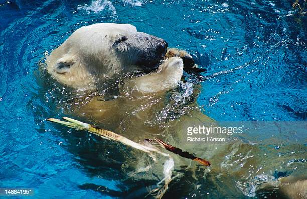 Polar bear in water at Melbourne Zoo.