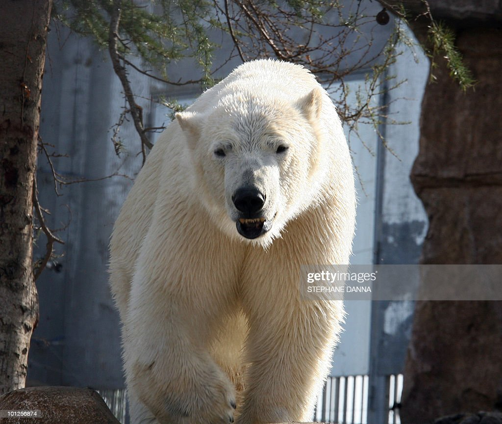A polar bear is pictured in its pen at t