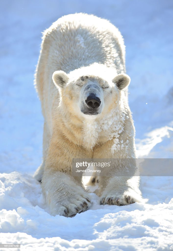 A polar bear is seen at the Bronx Zoo after a snow storm on February 9, 2013 in the Bronx borough of New York City.