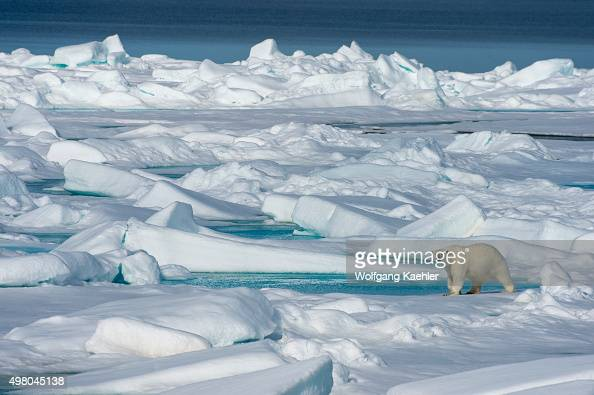 A polar bear is walking on the pack ice north of Svalbard Norway
