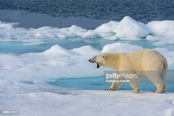 A polar bear is yawning on the pack ice north of Svalbard Norway