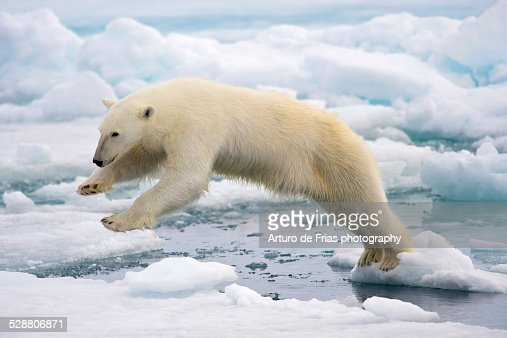 Polar Bear jumping in the fast ice