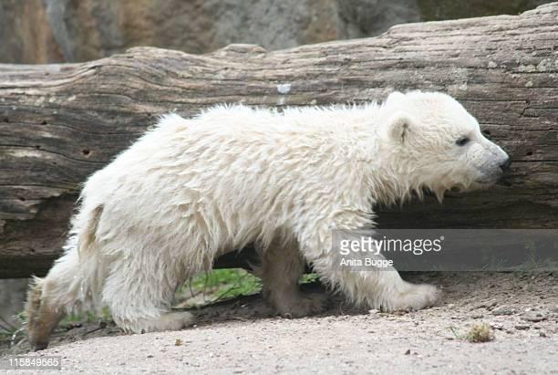 Polar Bear Knut during STEIFF launches a Polar Bear line 'Knut' Press Conference in Berlin at Berlin Zoo in Berlin Berlin Germany
