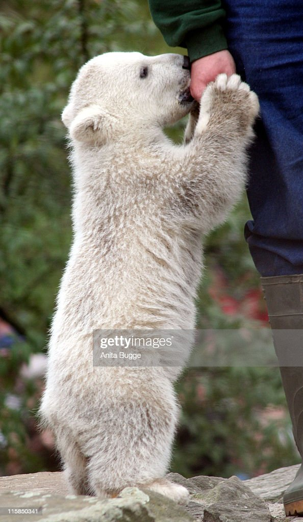 Polar Bear Knut during STEIFF launches a Polar Bear line 'Knut' Press Conference in Berlin at Berlin Zoo in Berlin Germany