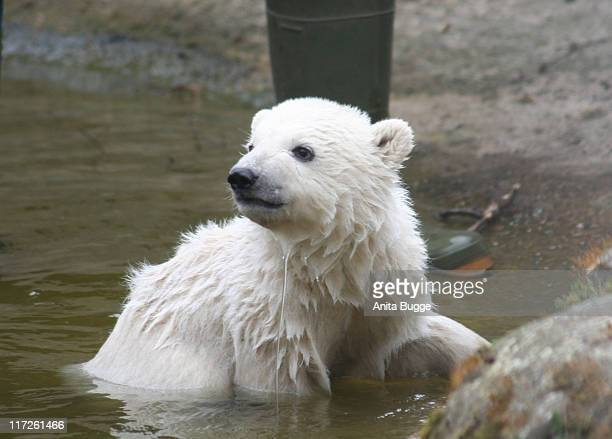 Polar Bear Knut during STEIFF launches a Polar Bear line Knut Press Conference in Berlin at Berlin Zoo in Berlin Germany