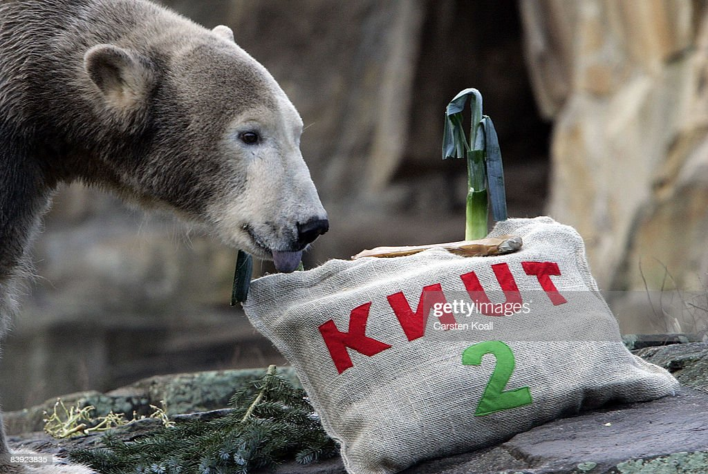 Polar bear Knut is seen in his outdoor enclosure at the Berlin Zoo on December 5, 2008 in Berlin, Germany. The Berlin Zoo celebrates the 2nd birthday of the popular polar bear Knut.