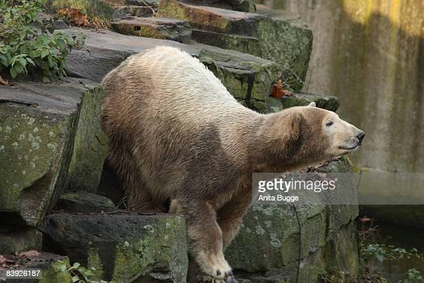 Polar bear Knut plays in his enclosure on his second birthday at the zoo in Berlin on December 5 2008 in Berlin Germany
