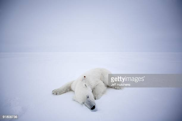 A polar bear lies sedated above the Arctic Circle felled by a tranquilizer dart from a United States Geological Survey scientist researching the...