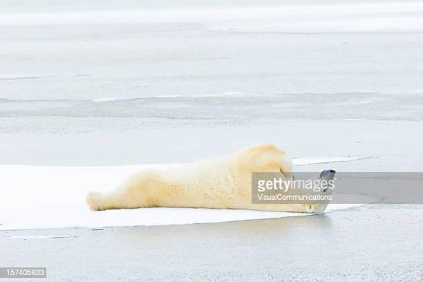 Polar bear lying down on ice.