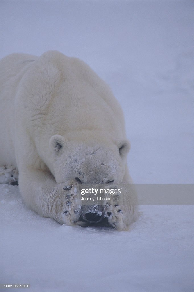 Polar bear (Ursus maritimus) lying in snow, covering eyes with paws : Stock Photo