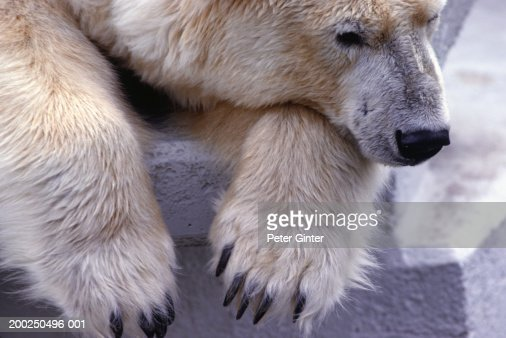 Polar bear lying on rock, resting head, Zoological Gardens, Cologne, Germany : Stock Photo