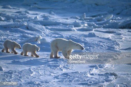 Madre y dos Polar Bear Cubs en refrescante de la bahía de Hudson