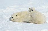 Polar bear (Ursus maritimus) mother laying with cub, Canada
