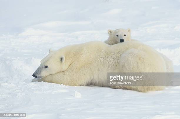 Polar bear (Ursus maritimus) mother laying with cub, Canada