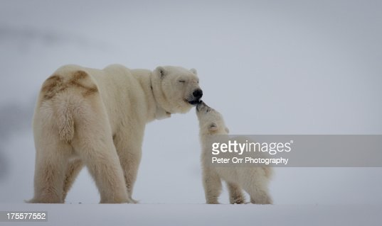 Polar Bear mother with cub