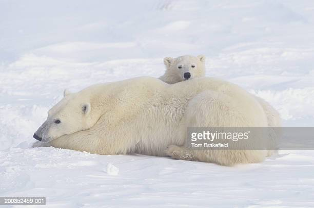 Polar bear (Ursus maritimus) mother with cubs, Canada