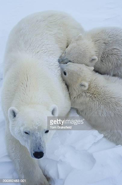 Polar bear (Ursus maritimus) mother with cubs, close-up, Canada