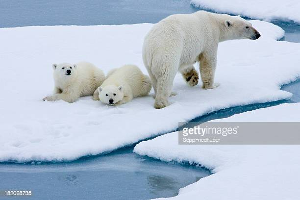 Polar bear mother with two cubs  on pack ice