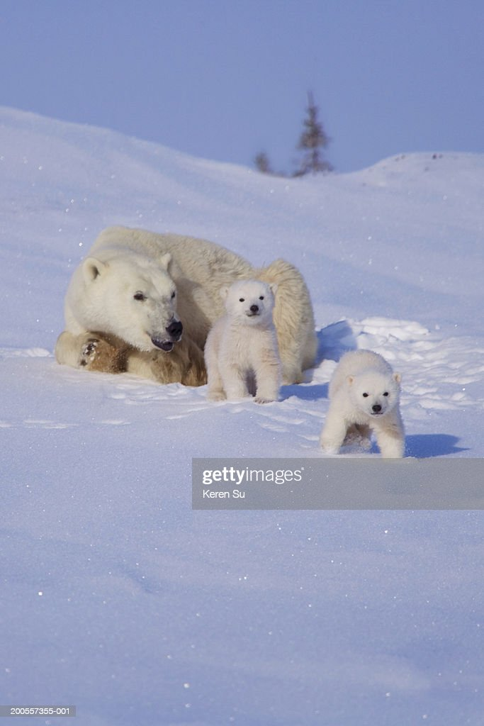 Polar bear (Ursus maritimus) mother with two cubs on snow : Stock Photo