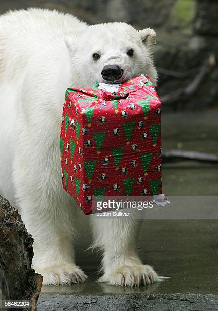 A polar bear named Pike holds a wrapped box filled with treats at the San Francisco Zoo December 22 2005 in San Francisco California Zoo animals...